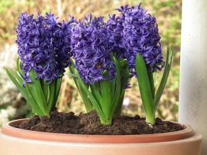 HyacinthL1